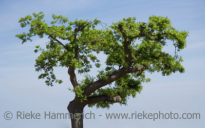 lonely cork oak tree - mediterranean flora - adobe RGB
