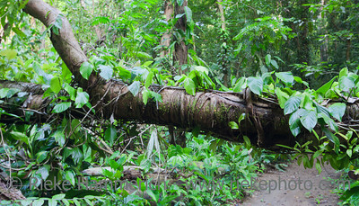 Overgrown tree trunk in tropical rainforest - Punta Leona, Puntarenas province, Costa Rica