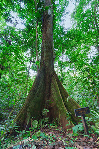 Old Milk Tree in Costa Rica - Brosimum utile in Punta Leona, Puntarenas province, Costa Rica
