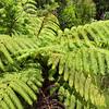 Tree Ferns - Northland, North Island, New Zealand