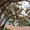 Giant Pohutakawa Tree on Beach - Metrosideros excelsa in Russell, Bay of Islands, Northland, North Island, New Zealand