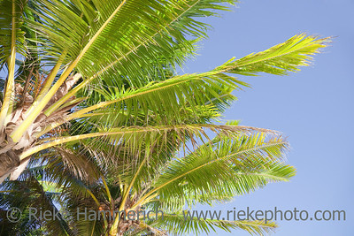 Coconut Palms against blue Sky