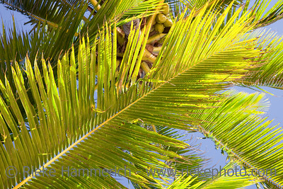 Coco Palm Fronds