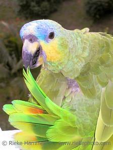 portrait of a green amazon parrot - tobago, west indies