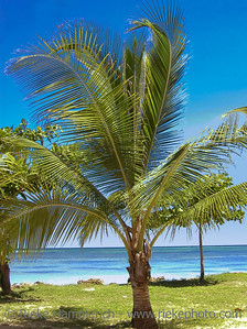 coconut palm on the beach - tobago, west indies
