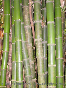 bamboo in a tropical rainforest - tobago, west indies