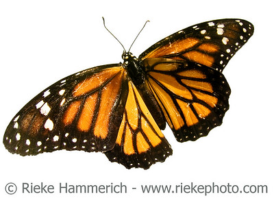 tropical monarch butterfly - on white background