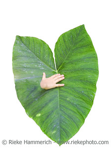big leaf and small hand