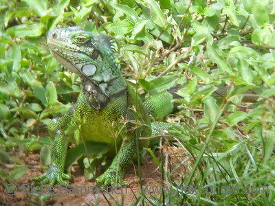 green iguana on a meadow - tobago, west indies