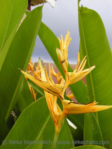 bird of paradise - tropical flower on tobago, west indies
