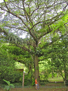giant tree and small hiker in a tropical rainforest