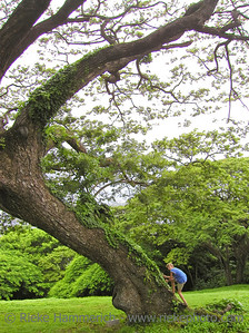 boy climbing a giant tropical tree - tobago, west indies