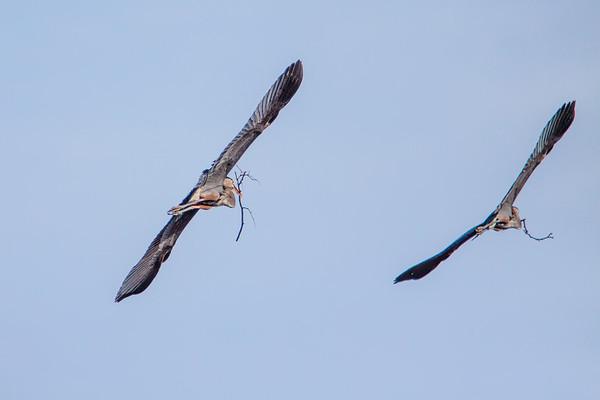 Blue Heron Rookery on Bath Road (2013-03-30)