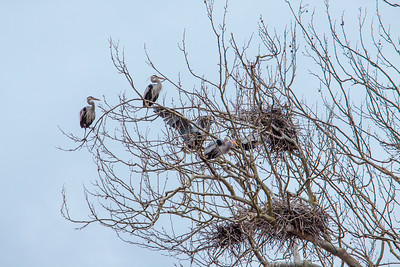 Blue Heron Rookery on Bath Road (2013-03-17)