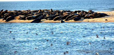 Seals sunning in Cape Cod National Seashore, Cape Cod