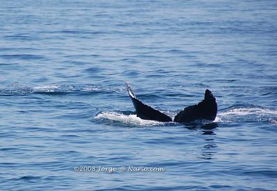 Humpback whales off Cape Cod