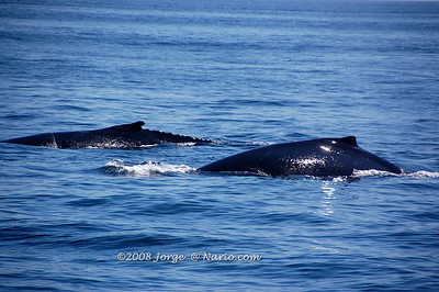 Humpback whales off Cape Cod