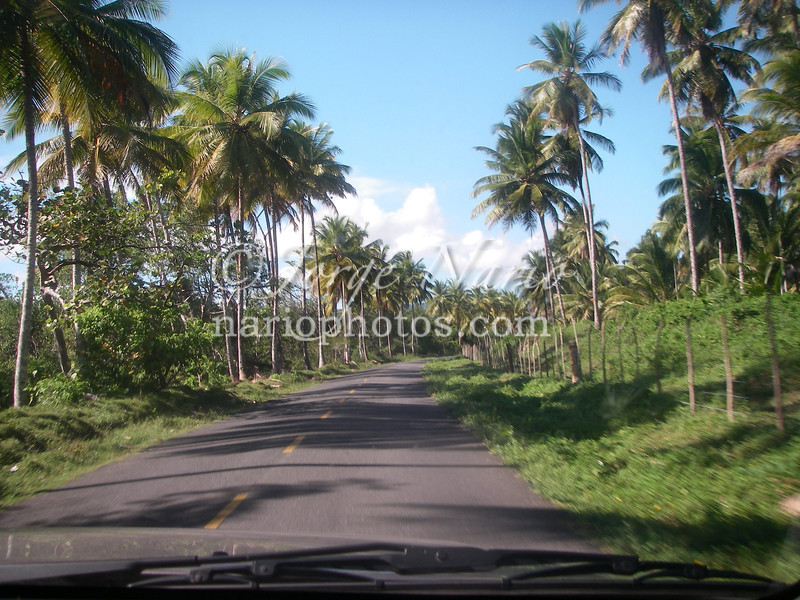 palm lined road