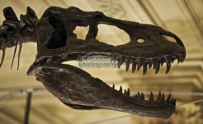 T Rex closeup