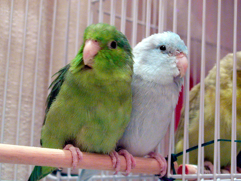 Normal & American White Parrotlets