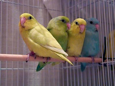 Pastel Pacific Parrotlets