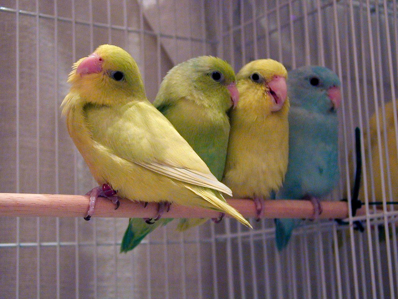 Pastel Parrotlets