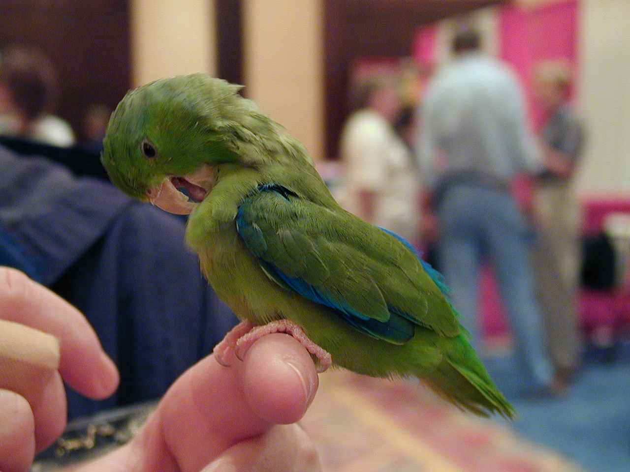 Pacific / Green-Rumped Parrotlet Hybrid