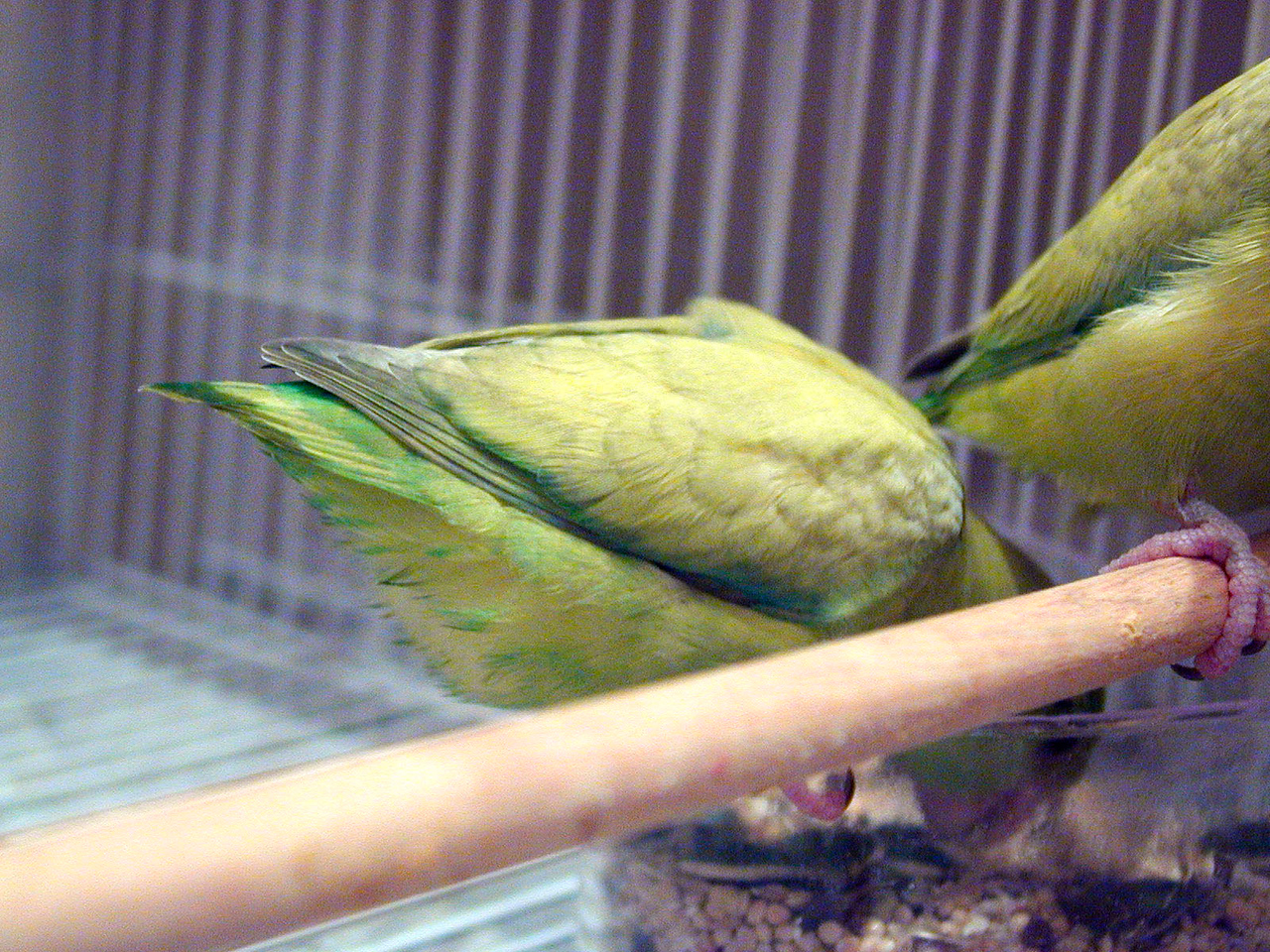 Pastel Parrotlet - Feather Scalloping