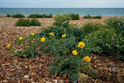 Yellow Horned Poppy on Shoreham by Sea Beach