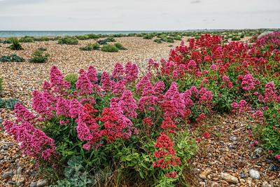 Flower - Red Valerian on Shoreham by Sea Beach, West Sussex