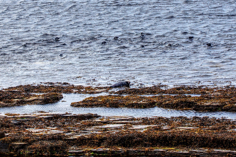 Common Seals near Midhowe Broch, Rousay