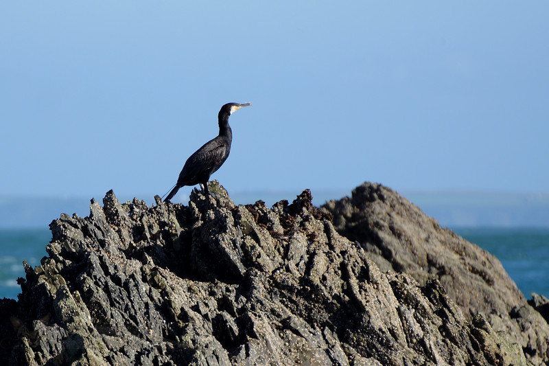 Cormorant on Rocks off Ramsey Island