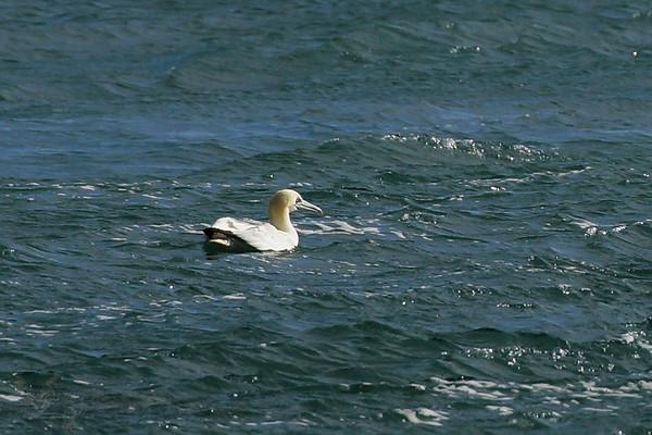 Gannet off Ramsey Island