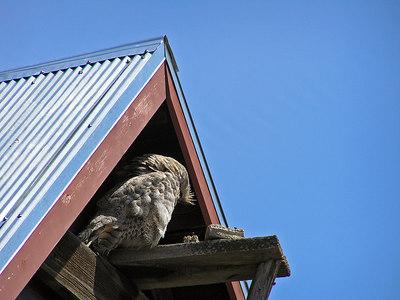 Friendly owl in Walden, CO