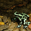 2010 Cost Rica - Green Poison-Arrow Frog