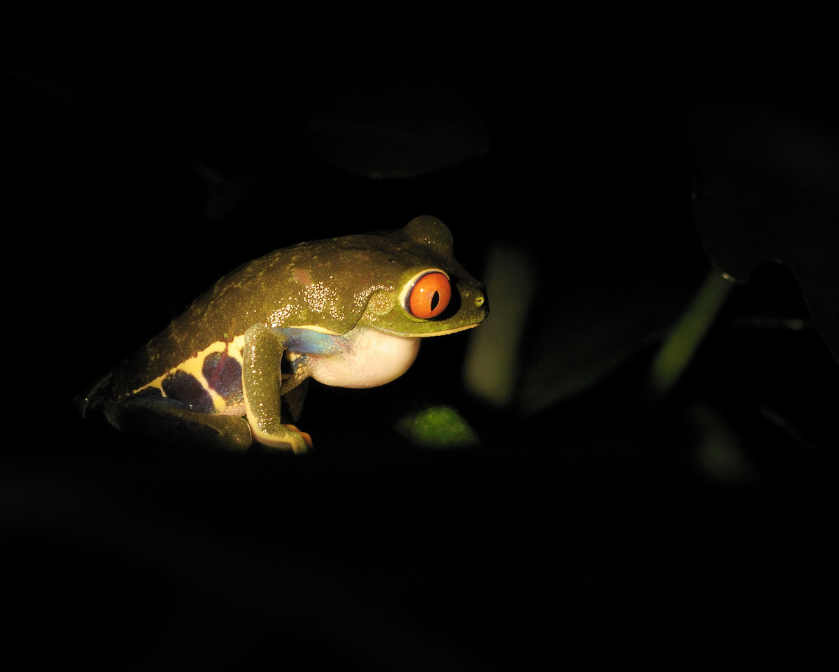 2010 Cost Rica - - Red-eyed Leaf Frog