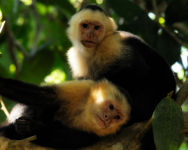 2010 Cost Rica - - White-faced Capuchin Monkey