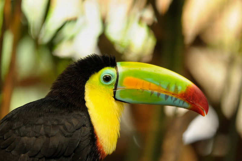2010 Cost Rica - 2010 Cost Rica - Keel-billed Toucan