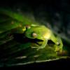 2010 Cost Rica - Fleischmann's Glass Frog