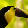 2010 Cost Rica - Chestnut Mandibled Toucan