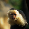 2010 Cost Rica - White Faced Capuchin Monkey