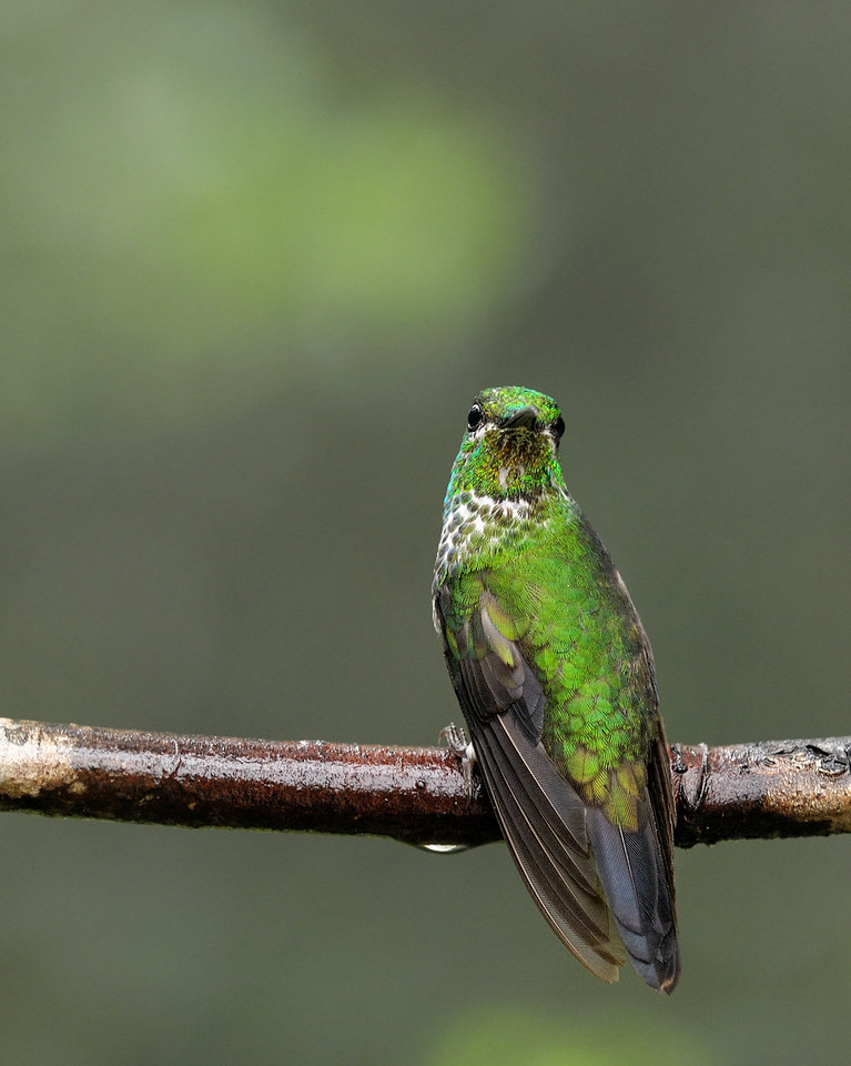 2010 Cost Rica - Green-crowned Brilliant