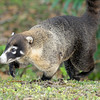 2010 Cost Rica - White-nosed Coati