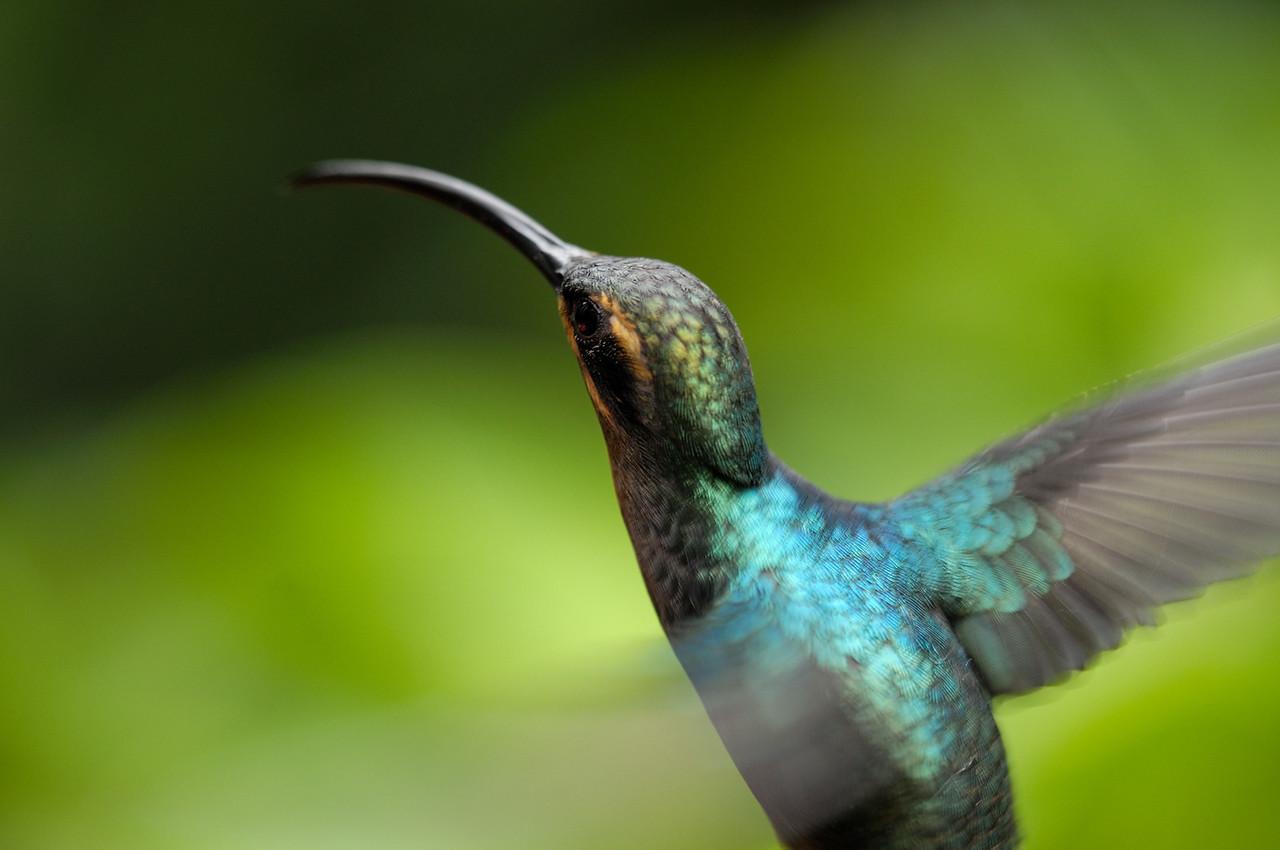 2010 Cost Rica - Green Hermit Hummingbird