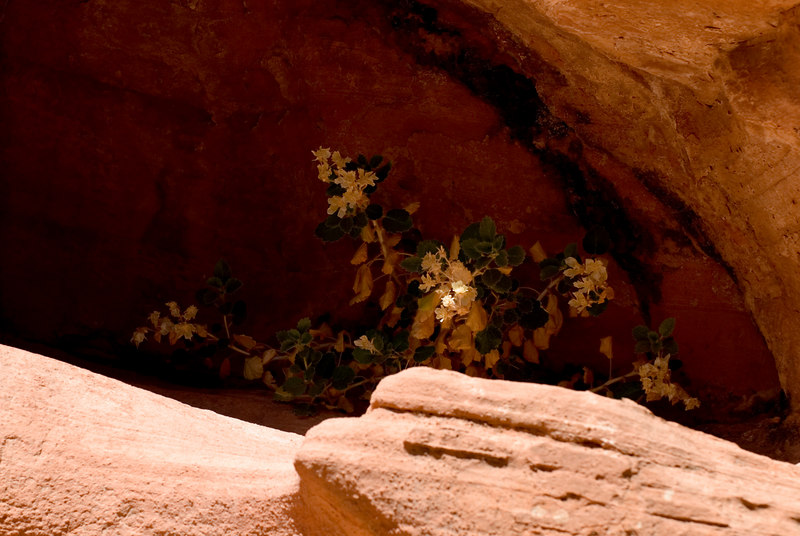 Valley of Fire - These flowers were tucked back into the canyon wall about 40 feet above the trail in the Petroglyph Canyon.