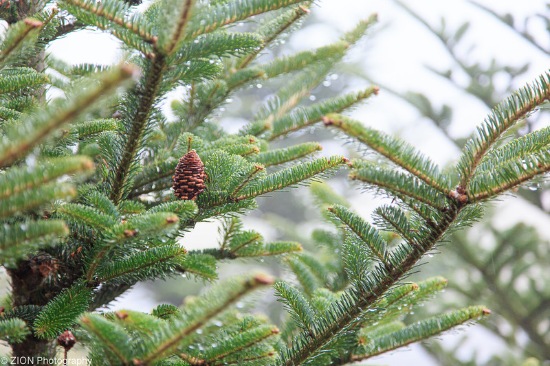 A Pine cone in the midst of a tree on a rainy day