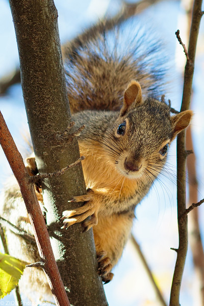 A Squirrel in tree stops to pose