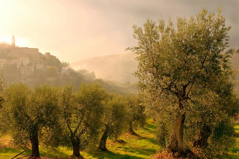 Olive grove, Seggiano