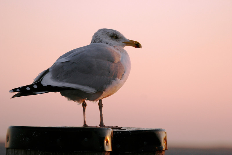Gull at sunset, Provincetown
