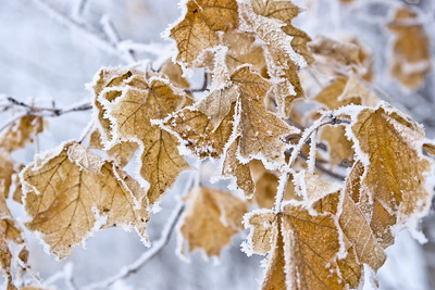 Frost Edged Leaves